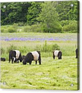 Belted Galloway Cows Pasture Rockport Maine Photograph Acrylic Print by Keith Webber Jr