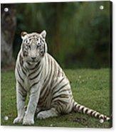 Bengal Tiger Panthera Tigris Tigris Acrylic Print by Konrad Wothe