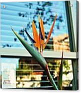 Bird Of Paradise-2 Acrylic Print by Todd Sherlock