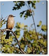 Bird On Branch Acrylic Print by Chase Hall