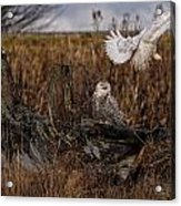 Birds Of Bc - No.14 - Snowy Owl Fly By Acrylic Print by Paul W Sharpe Aka Wizard of Wonders