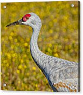 Birds Of Bc - No. 35 - Young Sand Hill Crane Acrylic Print by Paul W Sharpe Aka Wizard of Wonders