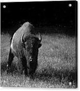 Bison Acrylic Print by Ralf Kaiser