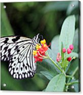 Black And White Butterfly  Acrylic Print by Abiy Azene