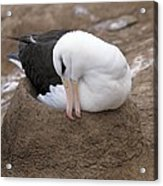 Black-browed Albatross Nesting Acrylic Print by Charlotte Main
