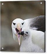 Black Browed Albatross Preparing Acrylic Print by Suzi Eszterhas
