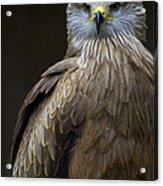 Black Kite 2 Acrylic Print by Heiko Koehrer-Wagner