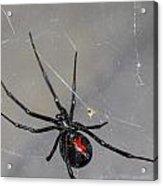 Black Widow Spider Acrylic Print by Scott McGuire
