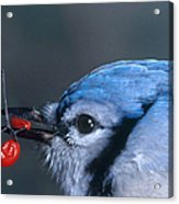 Blue Jay Acrylic Print by Photo Researchers, Inc.