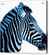 Blue Zebra Art Acrylic Print by Rebecca Margraf