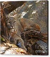 Bobcat Acrylic Print by DiDi Higginbotham