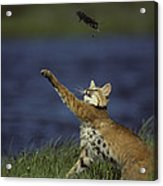 Bobcat Toys With Vole Acrylic Print by Michael S. Quinton