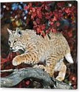 Bobcat Walks On Branch Through Hawthorn Acrylic Print by David Ponton
