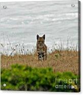 Bodega Bay Bobcat Acrylic Print by Mitch Shindelbower