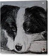 Borden Collie Pup Acrylic Print by Joan Pye