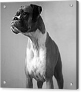 Boxer Dog Acrylic Print by Stephanie McDowell