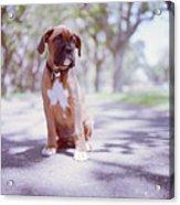 Boxer Puppy Acrylic Print by Diyosa Carter