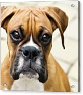 Boxer Puppy Acrylic Print by Jody Trappe Photography