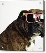 Boxer Wearing Sunglasses Acrylic Print by Ron Nickel
