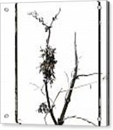Branch Of Dried Out Flowers. Acrylic Print by Bernard Jaubert