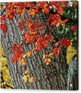 Bright Red Maple Leaves Against An Oak Acrylic Print by Tim Laman