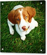 Brittany Spaniel Puppy Acrylic Print by Meredith Winn Photography