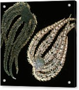 Brittle Stars Acrylic Print by Lucent Technologies' Bell Labs