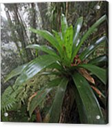Bromeliad And Tree Ferns Colombia Acrylic Print by Cyril Ruoso