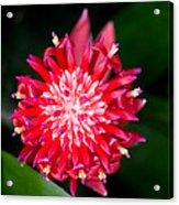 Bromeliad Bloom Acrylic Print by Rich Franco