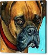 Brown Boxer On Turquoise Acrylic Print by Dottie Dracos