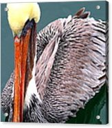 Brown Pelican . 7d8287 Acrylic Print by Wingsdomain Art and Photography