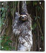 Brown Throated Three Toed Sloth Mother Acrylic Print by Suzi Eszterhas