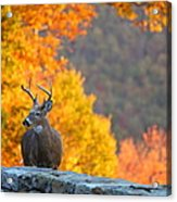 Buck In The Fall 04 Acrylic Print by Metro DC Photography