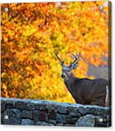 Buck In The Fall 07 Acrylic Print by Metro DC Photography
