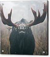Bull Moose Testing Air For Pheromones Acrylic Print by Philippe Henry