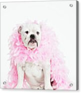 Bulldog Wearing Feather Boa Acrylic Print by Max Oppenheim