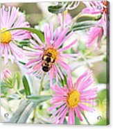 Bumble Bee On Asters Acrylic Print by Lena Auxier