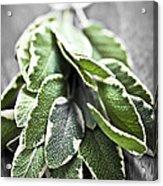 Bunch Of Fresh Sage Acrylic Print by Elena Elisseeva
