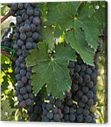 Bunches Of Sangiovese Grapes Hang Acrylic Print by Heather Perry