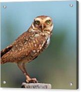 Burrowing Owl Acrylic Print by Peter Schoen