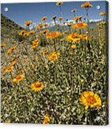 Bush Sunflowers Grow On Arid Slope Acrylic Print by Gordon Wiltsie