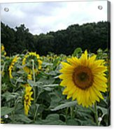 Buttonwoods Sunflowers Acrylic Print by Jason Sawicki