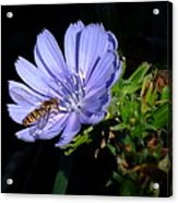Buzzy In Blue Acrylic Print by Alison Richardson-Douglas