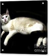 C-a-t In Repose  Acrylic Print by Peter Piatt