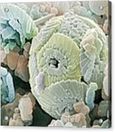 Calcareous Phytoplankton Fossil, Sem Acrylic Print by Power And Syred