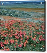 Californian Poppies (eschscholzia) Acrylic Print by Bob Gibbons