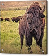 Call Of The Bison Acrylic Print by Tamyra Ayles