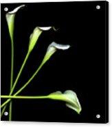 Calla Lily Acrylic Print by Photograph by Magda Indigo