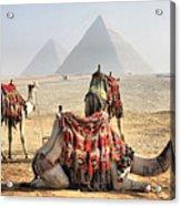 Camel And Pyramids, Caro, Egypt. Acrylic Print by Oudi