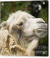 Camel Portrait Acrylic Print by Odon Czintos